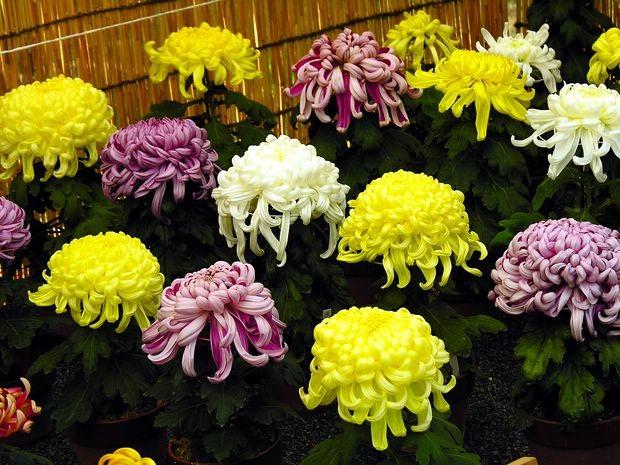 Quốc hoa của Nhật Bản và Lễ hội hoa cúc ở Fukushima